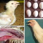 những kiến thức cơ bản cần biết khi gà bị viêm phổi