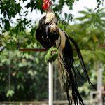 Onagadori: giống gà Nhật Bản đẹp và quý
