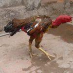 Những cách chữa gà không chịu ăn hiệu quả nhất
