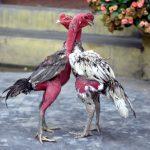 Tìm hiểu về gà đá hầu? Gà đá mé hầu có phải gà chọi tốt không?