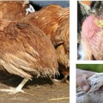 Phát hiện và điều trị sớm bệnh bạch lỵ ở gà