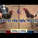 Đá gà Thomo Campuchia trực tiếp mới nhất ngày thứ ba, 14/1/2020