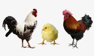lịch tiêm vacxin cho gà