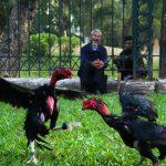Những vùng đất có gà chọi hay nhất trên đất Việt