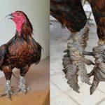 Cùng tiềm hiểu về dòng gà đặc biệt: Gà vảy rồng