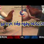 Trực tiếp đá gà Campuchia Thomo mới nhất ngày 14/2/2020