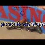 Video đá gà trực tuyến Thomo tuyển chọn ngày thư tư, 19/2/2020