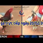 Xem đá gà trực tuyến ( Thomo Campuchia) thứ năm ngày 20/2/2020