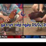 Trực tiếp đá gà hôm nay, video Thomo Campuchia ngày 5/2/2020