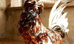 gà ăn gì để mượt lông