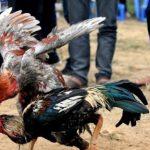 Ngâm thóc cho gà chọi ăn như thế nào là đúng?