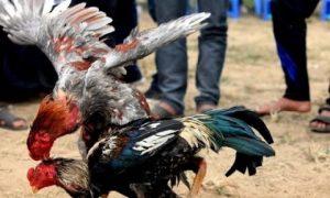 ngâm thóc cho gà
