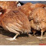 Cách trị bệnh gà ủ rũ & Chỉ ra nguyên nhân gây bệnh