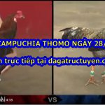 Xem video đá gà Thomo ngày 28/7/2020