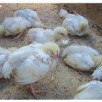 Bệnh Gumboro ở gà – Nguyên nhân & phác đồ điều trị