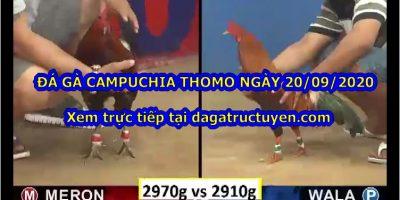 đá gà Thomo 67