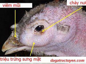 Bệnh CRD ở gà