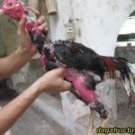 Cách nuôi gà mau mập Nhanh, chất lượng thịt thơm ngon