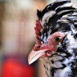 Gà quý phi – Đặc điểm & nguồn gốc giống gà hoàng gia
