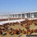 Giới thiệu mô hình nuôi gà thả vườn kiểu mới