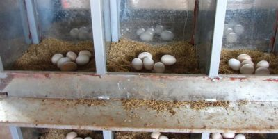 Cách làm chuồng gà đẻ trứng
