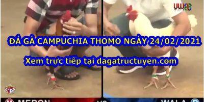 gà đá Thomo Live
