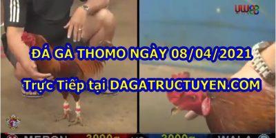 đá gà chọi Thomo