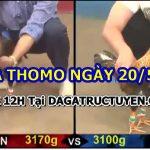 Coi đá gà cựa sắt trực tiếp tại Thomo 20/5/2021