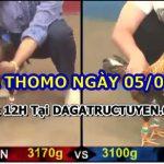 Video đá gà trường Thomo 5/6/2021